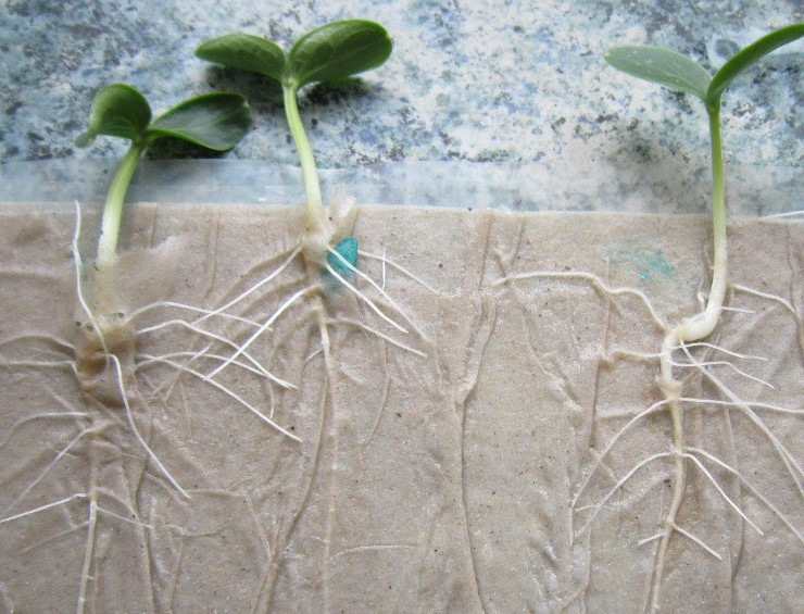 как проращивать семена на рассаду