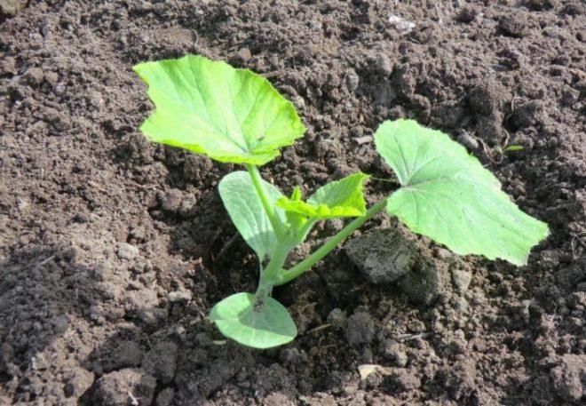 как семенами сажать фикус